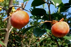 Autumn taste persimmon tree. A taste of fall autumn which is reflected in the blue sky, a persimmon tree Royalty Free Stock Photo