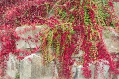 Stone wall twined with ivy. stock images