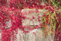 Stone wall twined with ivy. stock image