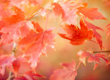 Autumn Thanksgiving Leaves Background Royaltyfri Bild