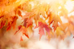 Autumn Thanksgiving Leaves Background Royaltyfri Foto