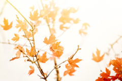 Autumn Thanksgiving Leaves Background Arkivfoton