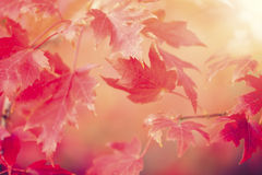 Autumn Thanksgiving Leaves Background. Thanksgiving holiday Background with leaves Stock Photo