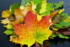 Autumn theme: autumn rapsody from maple leaves of different colors. Royalty Free Stock Image