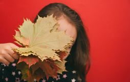 Autumn theme, the girl covers her face with a bouquet of maple leaves on a red background royalty free stock image