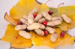 Autumn theme-Peanuts on leaves Royalty Free Stock Photos