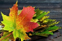 Autumn theme: autumn rapsody from maple leaves of different colors. Stock Photos