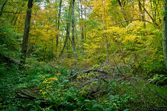 Autumn thicket. With fallen trees Stock Image