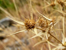 Thorn in the Eastern Crimea. Autumn thorn in eastern Crimea stock photos