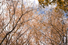 Autumn Threes. And blue sky Royalty Free Stock Image