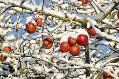 Autumn  apples on tree covered  snow, autumn background Stock Photography