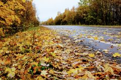 Autumn time: the asphalt road and its roadside are covered with fallen yellow maple leaves Stock Images