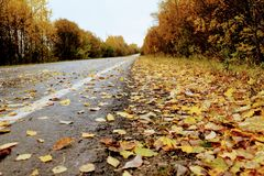 Autumn time: the asphalt road and its roadside are covered with fallen yellow maple leaves Stock Photos