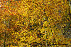 Autumn time at beech tree forest with golden leaves Stock Image