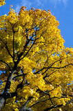 Autumn time, Branches of maple. In yellow colors on a blue background Royalty Free Stock Photos