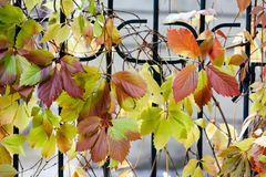 Autumn time colorful scene. climbing plant Virginia creeper wild grape tree branch with red leaves on a metal fence Royalty Free Stock Images