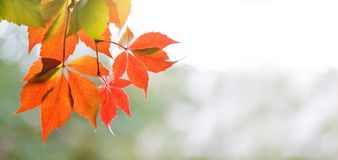Autumn time colorful scene. Virginia creeper wild grape tree branch with red leaves, sunny day. soft focus, shallow depth of field Stock Photo