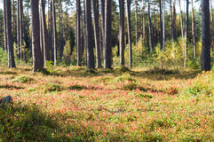 Autumn time coniferous forest Royalty Free Stock Photo