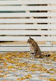 Autumn time. Gray cat sits near the fallen yellow leaves against. A white wooden fence. Selective focus royalty free stock image