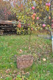 Autumn is the time of harvest. Rural landscape: apple tree with red apples and an empty wicker basket Stock Image