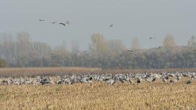 Autumn Time las grúas comunes en la migración vuelan a piezas más calientes de la tierra almacen de metraje de vídeo