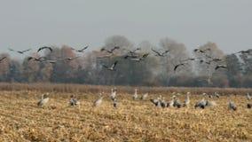 Autumn Time las grúas comunes en la migración vuelan a piezas más calientes de la tierra metrajes