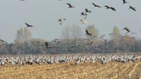 Autumn Time las grúas comunes en la migración vuelan a piezas más calientes de la tierra almacen de video