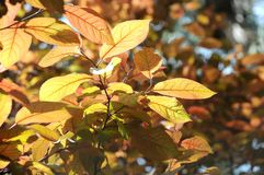 Autumn time leafs coloration in time Royalty Free Stock Photos