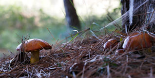 Autumn time: small slippery jacks (Suillus luteus) mushrooms in the pine forest, Spain Stock Image