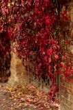 Autumn time. Tree-like girlish grapes Parthenocissus quinquefol Royalty Free Stock Photo