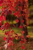 Autumn time. Tree-like girlish grapes Parthenocissus quinquefol Royalty Free Stock Images