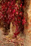 Autumn time. Tree-like girlish grapes Parthenocissus quinquefol Stock Photography