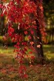 Autumn time. Tree-like girlish grapes Parthenocissus quinquefol Stock Photos