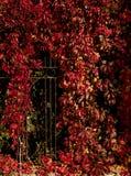 Autumn time. Tree-like girlish grapes Parthenocissus quinquefol Stock Image