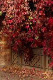 Autumn time. Tree-like girlish grapes Parthenocissus quinquefol. Ia with red leaves. Selective focus Royalty Free Stock Images