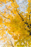 Autumn time yellow colored maple tree on blue sky Royalty Free Stock Images