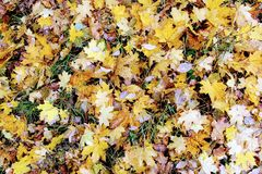 Autumn time: yellowed fallen leaves formed a forest substrate Royalty Free Stock Photo