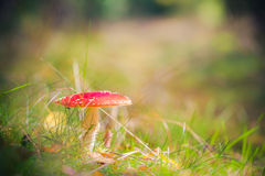 Autumn toadstool poisonous mushroom forest litter Stock Image