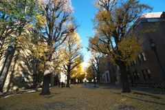 Autumn in Tokyo. The university of Tokyo, Japan. Tokyo, Japan-December 6, 2016:Ginkgo Trees in autumn, University of Tokyo, the most famous university in Japan Royalty Free Stock Image