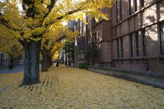 Autumn in Tokyo. The university of Tokyo, Japan. Tokyo, Japan-December 6, 2016:Ginkgo Trees in autumn, University of Tokyo, the most famous university in Japan Stock Image