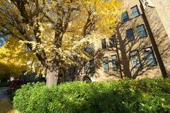 Autumn in Tokyo. The university of Tokyo, Japan. Tokyo, Japan-December 6, 2016:Ginkgo Trees in autumn, University of Tokyo, the most famous university in Japan Stock Photo