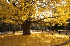 Autumn in Tokyo. The university of Tokyo, Japan. Tokyo, Japan-December 6, 2016:Ginkgo Trees in autumn, University of Tokyo, the most famous university in Japan Royalty Free Stock Photo