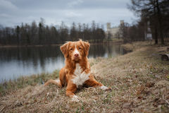 Autumn, Toller dog in the park. Nova Scotia Duck Tolling Retriever dog in the park Royalty Free Stock Image