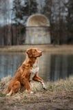 Autumn, Toller dog in the park. Nova Scotia Duck Tolling Retriever dog in the park Stock Photos