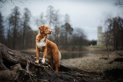 Autumn, Toller dog in the park. Nova Scotia Duck Tolling Retriever dog in the park Stock Images