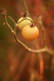 Autumn Tomatoes Stock Photography
