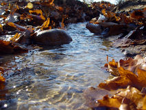 Autumn transparent spring rill. With oak leaves Royalty Free Stock Images