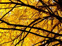 Autumn tree 1. A large tree with yellow foliage view from bottom to top Stock Photography