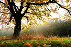 Autumn tree. Backlighting with sun beams Royalty Free Stock Photos