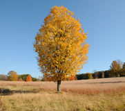 Autumn Tree. Golden tree in a field in the Autumn in New England Royalty Free Stock Photos